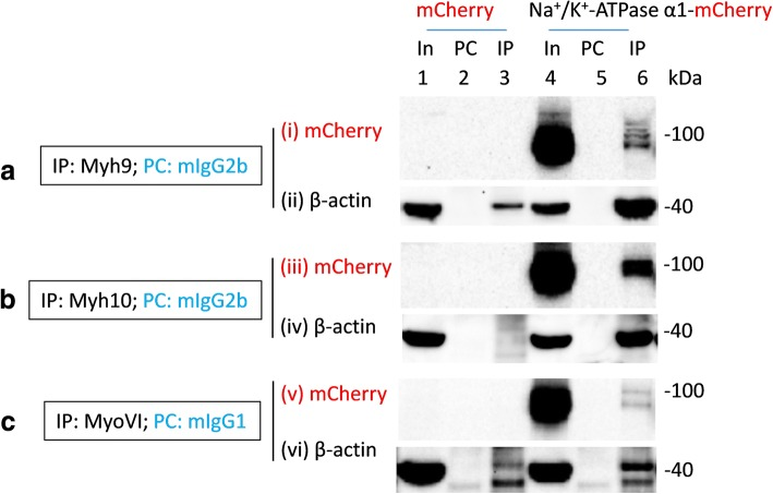 Multiple myosins co-immunoprecipitate recombinant Na + /K + -ATPase α1 subunits expressed in HEK293 cells. Lysates of HEK293 cells transiently transfected with mCherry (In, lane 1) or Na + /K + -ATPase α1 tagged with mCherry in the C-terminus (In, lane 4; Na + /K + ATPase α1-mCherry) were precleared (PC) with mouse IgG2b antibodies ( a and b ; lanes 2 and 5) or mouse IgG1 antibodies ( c ; lanes 2 and 5) prior to immunoprecipitation (IP) using mouse anti-myh9 antibodies of the IgG2b isotypes ( a ; lanes 3 and 6), mouse anti-myh10 antibodies of the IgG2b isotypes ( b ; lanes 3 and 6) or mouse anti-myoVI antibodies of the IgG1 isotypes ( c ; lanes 3 and 6). Loading of PC complexes in the gel preceded those of the IP complexes. mCherry immunoreactive bands in lanes 4 and 6 but not in any other lanes indicated co-immunoprecipitation of recombinant Na + /K + -ATPase α1 subunits by myh9 (lane 6, panel (i)), myh10 (lane 6, panel (iii)) and myoVI (lane 6, panel (v)) from HEK293 cells transfected with Na + /K + -ATPase α1-mCherry plasmids but not from those transfected with mCherry. As expected β-actin (lanes 3 and 6 in panels (ii)) was co-immunoprecipitated with myh9. Myh10 and myoVI noticeably co-immunoprecipitated β-actin (lane 6 in (iv) and (vi)) from HEK293 cells overexpressing Na + /K + -ATPase α1 subunits but not from those overexpressing mCherry. Full length images of western blots are presented in Additional file 12 : Figure S11, Additional file 13 : Figure S12, Additional file 14 : Figure S13)