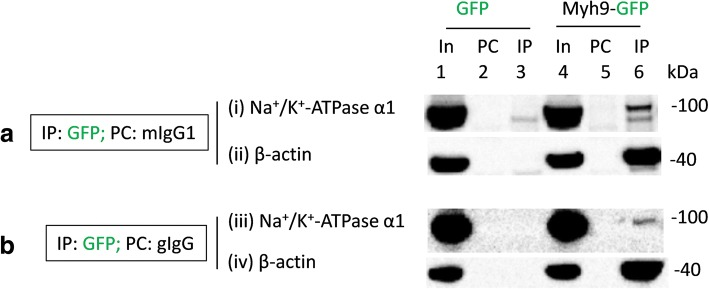 Recombinant myh9 co-immunoprecipitate Na + /K + -ATPase α1 subunits expressed in HEK293 cells. Lysates of HEK293 cells transiently transfected with GFP (In, lane 1) or myh9 tagged with GFP in the C-terminus (In, lane 4; myh9-GFP) were precleared (PC) with mouse IgG1 antibodies ( a , lanes 2 and 5) or goat immunoglobulins (gIgG) ( b , lanes 2 and 5) prior to immunoprecipitation (IP) using mouse anti-GFP antibodies of the IgG1 isotypes ( a , lanes 3 and 6) or goat anti-GFP antibodies ( b , lanes 3 and 6). Loading of PC complexes in the gel preceded those of the IP complexes. Na + /K + -ATPase α1 immunoreactive bands in lanes 1, 4 and 6 but not in any other lanes ((i) and (iii)) indicated co-immunoprecipitation of Na + /K + -ATPase α1 subunits from HEK293 cells transfected with myh9-GFP plasmids but not from those transfected with GFP plasmids. As expected immunoprecipitation using anti-GFP antibodies led to the co-immunoprecipitation of β-actin (lane 6 in (ii) and (iv)) from HEK293 cells transfected with myh9-GFP plasmids but not from those transfected with GFP plasmids. Immunoprecipitation using goat anti-GFP antibodies ( b ) led to a cleaner co-IP of Na + /K + -ATPase α1 subunits from HEK293 cells expressing myh9-GFP. Full length images of western blots are presented in Figure Additional file 4 : Figure S3B (for part a ) and Additional file 5 : Figure S4B (for part b )