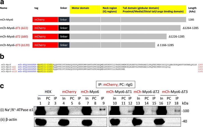 Interaction of full length or tail-less (ΔT) recombinant myo6 with Na + /K + -ATPase α1 subunits expressed in HEK293 cells. a and b Schematic representation of myo6 constructs. All the myo6 constructs possessed a short amino acid linker of 11 AAs (shown in blue colored letters in b ) between the mCherry tag (N-terminal) and coding sequences for myo6. mCherry tagged full length myo6 constructs (i.e., mCherry-Myo6) were truncated by 22 AAs (i.e., Δ1264–1285 = mCherry-myoVI-ΔT1), 60 AAs (i.e., Δ1226–1285 = mCherry-myoVI-ΔT2) and 120 AAs (i.e., Δ1166–1285 = mCherry-myoVI-ΔT3) from the C-terminal end where the numbers indicate the amino acid positions in the WT myo6. c Lysates of non-transfected HEK293 cells (In; 1) or HEK293 cells transiently transfected with mCherry (In; 4), mCherry-myo6 (In; 7), mCherry-myo6-ΔT1 (In; 10), mCherry-myo6-ΔT2 (In; 13) or mCherry-myo6-ΔT3 (In; 16) plasmids (where mCherry tag is in the N-terminus) were precleared with rabbit IgG (PC; lanes 2, 5, 8, 11, 14 and 17) prior to immunoprecipitation using rabbit anti-mCherry antibodies (IP; lanes 3, 6, 9, 12, 15 and 18). Loading of PC complexes in the gel preceded those of the IP complexes. Presence of Na + /K + -ATPase α1 immunoreactive bands in lanes 1, 4, 7, 9, 10, 12, 13, 15, 16 and 18 in (i) and absence of any Na + /K + -ATPase α1 immunoreactive bands in lanes 2, 3, 5, 6, 8, 11, 14 and 17 in (i) indicated co-immunoprecipitation of Na + /K + -ATPase α1 subunits from the IP of recombinant mCherry-myo6, mCherry-myo6-ΔT1, mCherry-myo6-ΔT2 or mCherry-myo6-ΔT3 but not from those of mCherry thus confirming interaction between myo6 and Na + /K + -ATPase α1 subunits which is not perturbed due to loss of tail regions in myo6. Recombinant mCherry-Myo6, mCherry-myo6-ΔT1, mCherry-myo6-ΔT2 or mCherry-myo6-ΔT3 could not co-immunoprecipitate β-actin (i.e., lanes 9, 12, 15 and 18 in (ii)) from HEK293 cells. Full length images of western blots are presented in Additional file 15 : Figure S14