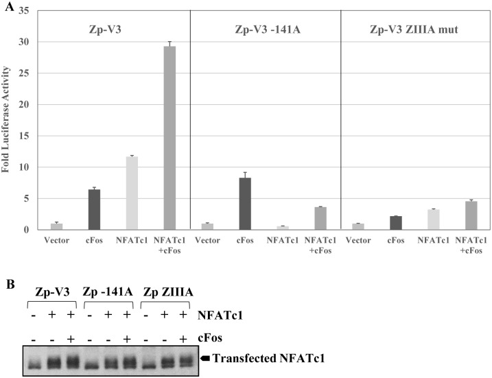 NFATc1 and cFos cooperate to activate the Zp-V3. (A) EBV-negative BJAB cells were transfected with the wildtype Zp-V3 luciferase vector, the Zp-V3-141A, or the Zp-V3 ZIIIA mutant promoter luciferase constructs, with or without plasmids expressing cFos and/or NFATc1 as indicated. The fold increase in luciferase activity induced by co-transfection with cFos or NFATc1 vectors for each promoter construct (relative to the vector control, set as 1) is shown. Error bars indicate standard deviation. (B) Levels of transfected NFATc1 in each condition were determined by immunoblot.