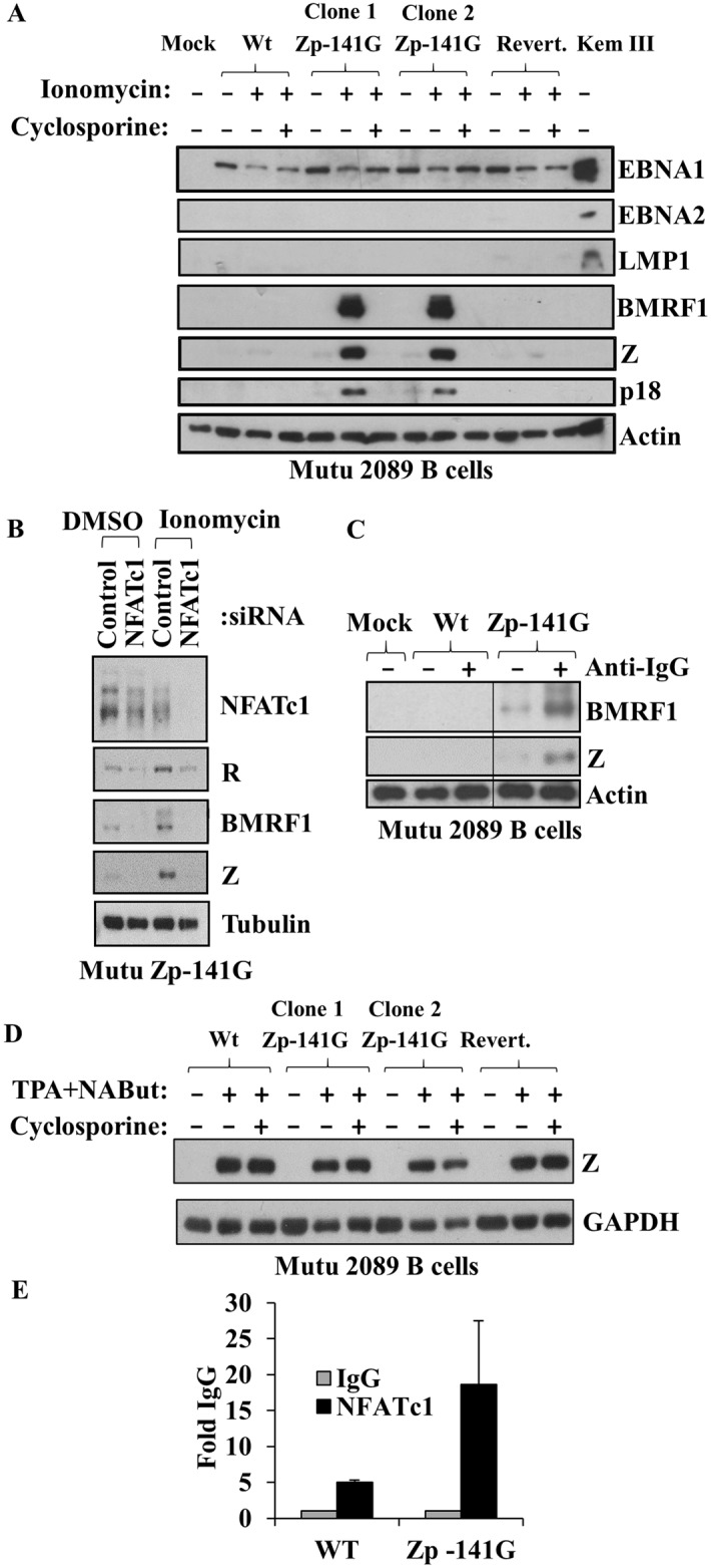 Converting the -141 Zp nucleotide in the intact B95.8 genome to the Zp-V3 nucleotide increases lytic protein expression in stably infected Burkitt cells. (A) EBV-negative Mutu B cells were infected with wildtype, Zp mutant, or revertant B95.8 (2089) viruses as indicated, and stably selected with hygromycin B for two months. Two different independently selected lines for each virus were then treated for two days with or without ionomycin (in the presence or absence of cyclosporine), and immunoblots were performed to detect EBNA1, EBNA2, LMP1, Z, BMRF1 (early lytic protein), p18 (late lytic protein), and actin. Kem III cell extract was included as a positive control for EBNA1, EBNA2, and LMP1. (B) Mutu cell lines containing Wt or Zp mutant viruses were nucleofected with control siRNA or NFATc1 siRNA. Ionomycin or DMSO control was added after 48 hours, and cells harvested 72 hours post-infection. Immunoblots were performed to detect NFATc1, R, BMRF1, Z, and tubulin (loading control). (C) Mutu cell lines containing Wt or Zp mutant viruses (or mock infected cells) were treated with or without anti-IgG for two days and immunoblots performed to detect BMRF1, Z, and actin (loading control). (D) Mutu cell lines containing Wt, Zp mutant, or revertant viruses were treated with or without TPA plus sodium butyrate (NaBut) (in the presence or absence of cyclosporine) for two days and immunoblots performed to detect Z expression and GAPDH (loading control). (E) ChIP assays were performed using Mutu cell lines containing Wt or Zp mutant viruses treated for three hours with ionomycin. Formaldehyde-fixed cell extracts were immunoprecipitated with control anti-IgG or NFATc1 antibody. qPCR using primers for the EBV Z promoter was performed; results shown are expressed as the amount of Zp complexed to NFATc1 ab relative to the control IgG ab. Data represent three independent experiments.