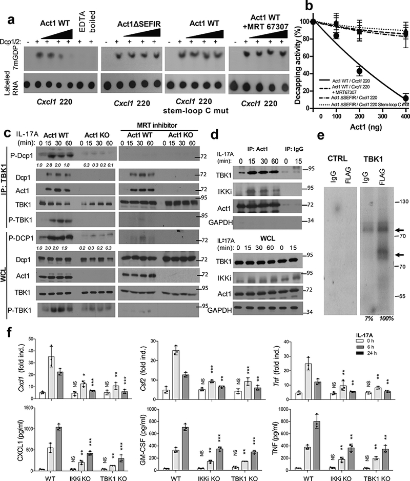 Act1-RNA binding to 3'UTR inhibits decapping through TBK1-mediated phosphorylation of Dcp1. a. Cap (m7GDP) labeled reporter RNAs [ Cxcl 220 and mutant without stem-loop C ( Cxcl 220-stem-loop C mutant) ] were subjected to decapping assay using purified Dcp1/Dcp2 with increasing amounts of purified Act1 WT or Act1 ΔSEFIR in the presence or absence of TBK1 inhibitor (MRT67307). EDTA and boiling were included as negative controls to inactivate Dcp1/Dcp2 enzymatic activity. Radiograms were quantified by densitometry. b. Graph indicates the decapping activity calculated by quantifying the released Cap as a percentage of the amount of Cap catalyzed by purified Dcp1/2. c. Cell lysates from Act1 −/− MEFs with and without reconstitution of wild-type Act1 (Act1-WT and Act1-KO) with or without the presence of TBK1 inhibitor (MRT67307) were immunoprecipitated (IP) with anti-TBK1 followed by Western blot analysis using antibodies as indicated. d. Cell lysates from untreated and IL-17A-treated HeLa cells were immunoprecipitated (IP) with anti-Act1 followed by Western blot analysis using antibodies as indicated. e. In vitro kinase assay of Dcp1 by recombinant TBK1 using Dcp1-immunoprecipitates from HeLa cells transfected with FLAG-tagged Dcp1. f. Wild-type (WT), IKKi-deficient (IKKi KO) and TBK1-deficient (TBK1 KO) MEFs pretreated with TNF for 1 hour, were untreated or stimulated with IL-17A. The mRNA and protein levels were then analyzed by RT-PCR (Top) and Elisa (Bottom), respectively (n=3 independent plates of cells). Bar graph shows mean and s.d. of independent plates of cells (f). The exact P value for each comparison is provided in the graph or as p value