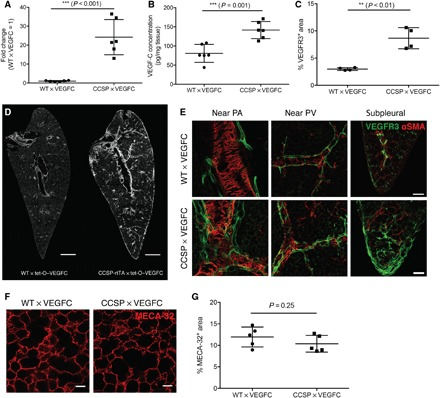 Characterization of CCSP-rtTA × tet-O–VEGF-C mice after doxycycline treatment for 2 weeks. ( A ) VEGF-C mRNA expression in the lung (normalized to RPLP0). The average expression level in WT × tet-O–VEGF-C mice was set to 1 ( n = 6). ( B ) VEGF-C protein levels in the lung detected by enzyme-linked immunosorbent assay (ELISA) ( n = 6). ( C ) Quantification of the VEGFR3 + LV area ( n = 4). ( D ) Representative images of VEGFR3 staining in the lung. Scale bars, 1 mm. ( E ) Representative high-magnification images of different regions in the lung stained for VEGFR3. Scale bars, 200 μm. PA, pulmonary artery; PV, pulmonary vein. ( F ) Representative images of MECA-32 staining in the lung. Scale bars, 50 μm. ( G ) Quantification of MECA-32 + blood vessel area in the lung ( n = 5).