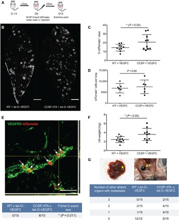 Increased metastasis in CCSP-rtTA × tet-O–VEGF-C mice after tail vein injection of B16F10 melanoma cells. ( A ) Schematic of the B16F10 tumor study. Dox, doxycycline; i.v., intravenous. ( B ) Representative images of lung sections with metastatic nodules 14 days after tumor cell injection (indicated by staining for RFP from B16F10-luc2-tdTomato cells). Scale bars, 1 mm. ( C ) Quantification of tdTomato + area in the lung 14 days after tumor cell injection ( n = 10). ( D ) Quantification of tdTomato + cells per lung 24 hours after intravenous injection of 1 × 10 6 B16F10-luc2-tdTomato cells. ( E ) Representative images of lymphatic invasion (white arrows) with orthogonal projection. Scale bars, 100 μm. Fisher's exact test was performed. ( F ) Quantification of the lung-draining lymph node weight ( n = 10). ( G ) Number of mice with different numbers of distant organs with metastasis (zero, one, two, or three organs affected) and example images of metastases (yellow arrows) in the liver and intestine. Data were pooled from two rounds of studies.