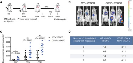 Increased metastasis in CCSP-rtTA × tet-O–VEGF-C mice in the 4T1 spontaneous breast cancer metastasis model. ( A ) Schematic of the 4T1 tumor study. PR, postremoval; s.c., subcutaneous. ( B ) Representative in vivo bioluminescence images of metastases on day 21 after primary tumor removal. ( C ) Quantification of bioluminescence signal over the whole body on days PR7, PR14, and PR21 by IVIS imaging. For data from days PR7 and PR14, WT × VEGFC, n = 8, and CCSP × VEGFC, n = 11. Four mice reached the euthanization criteria before the end time point; thus, for data from day PR 21, WT × VEGFC, n = 7, and CCSP × VEGFC, n = 8. ns, not significant. ( D ) Number of mice with different numbers of distant organs with metastasis (zero, one, two, or three organs affected). Data were pooled from three rounds of studies. Only mice with detectable metastases (by ex vivo IVIS imaging) in the lungs were quantified.