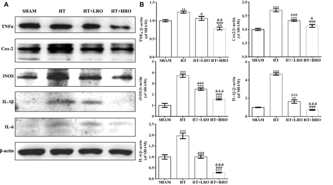 Rosuvastatin attenuated inflammation levels. (A) Immunoblotting analysis of tumor necrosis factor alpha (TNF-α), cyclooxygenase 2 (Cox-2), inducible nitric oxide synthase (iNOS), interleukin 1 beta (IL-1β) and IL-6 expression levels at 24 h after reperfusion in each group ( n = 6 in each group). (B) The results are normalized to β-actin. Values are expressed as the mean ± SEM, the determination of which was followed by the LSD test (homogeneity of variance was determined). ** P