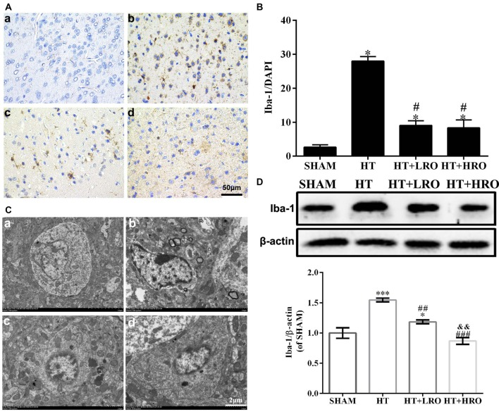 Rosuvastatin inhibited microglial activation. (A) Representative images of DAPI and Iba-1 staining, as described above. Scale bars: 50 μm. (B) The quantified Iba-1 immunofluorescence intensity at 24 h after reperfusion; the results were normalized to DAPI. (C) Transmission electron microscopy image showing the ultrastructure of microglia. Scale bar: 200 nm. (D) Iba-1 expression levels, as determined by western blotting ( n = 6 in each group); the results are normalized to β-actin. The values were expressed as the mean ± SEM, the determination of which was followed by the LSD test (homogeneity of variance was determined; a–d for the SHAM, HT, HT+LRO and HT+HRO groups, respectively, as shown in Figure 1 ). * P