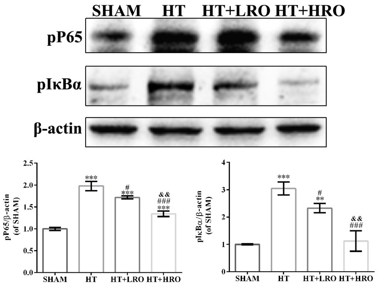Rosuvastatin protected against HT via inhibiting the NF-κB pathway. Western blot analysis of phospho-NF-κB p65 (p-p65) and phospho-inhibitory subunit of NF-κBα (p-IκBα) expression levels in the NF-κB pathway at 24 h after reperfusion ( n = 6 in each group); the results are normalized to β-actin. The values are expressed as the mean ± SEM.** P