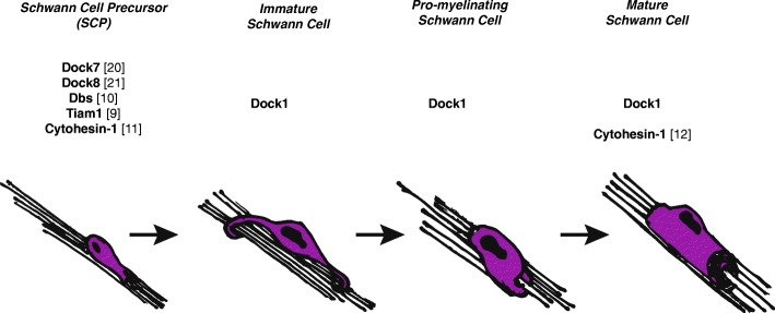 Roles of GEFs in Schwann cell development. Several canonical a nd atypical GEFs have been characterized in Schwann cell development, primarily during Schwann cell migration. Dock1 functions either cell autonomously or non-cell autonomously to regulate immature to myelinating stages of Schwann cell development