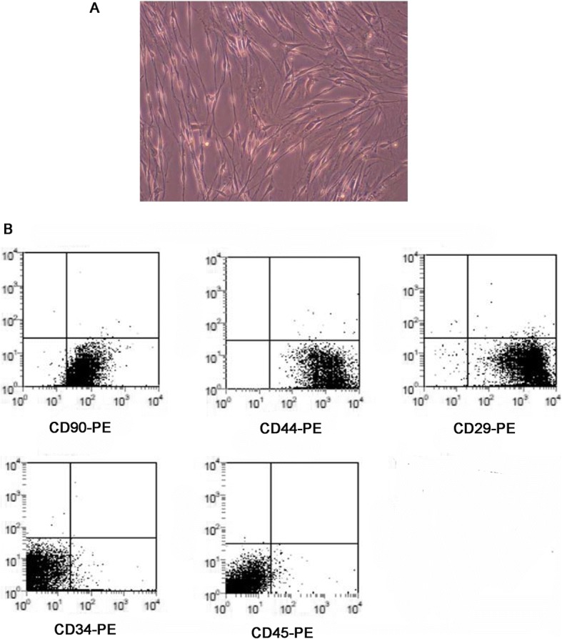 The identification of adipose-derived mesenchymal stem cells of mice (mASCs). a The morphology of mASCs under A microscope (400X); b The expression of CD90, CD44, CD29, CD34 and CD45 on the surface of mASCs by flow cytometry