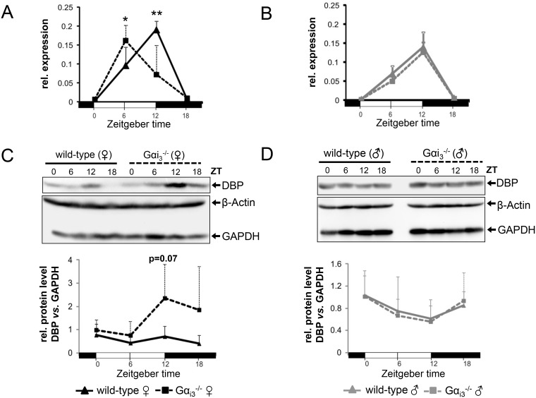 Rhythmic expression of DBP in the liver of female Gα i3 -/- mice is phase advanced ( A , B ) Quantitative real-time <t>PCR</t> analysis of rhythmic expression of DBP <t>mRNA</t> in the liver of female (A) and male (B) Gα i3 deficient mice as compared to wild-type control animals. Dbp transcript levels were normalized to the endogenous control Gapdh. Shown are 2 -ΔCt values. ( C , D ) Representative immunoblots of rhythmic expression of the DBP protein in the liver of female (C) and male (D) Gα i3 -deficient mice and wild-type controls. GAPDH and β-Actin were employed as loading controls. Relative protein levels (DBP/GAPDH) were determined by densitometric analysis using ImageJ software (lower panels in C and D). Mice were sacrificed and analyzed every six hours at the indicated time points (ZT 0 to ZT 18). Results are expressed as mean ± s.d. of six animals (mRNA) or four animals (immunoblot) analyzed per genotype and time point ( * p