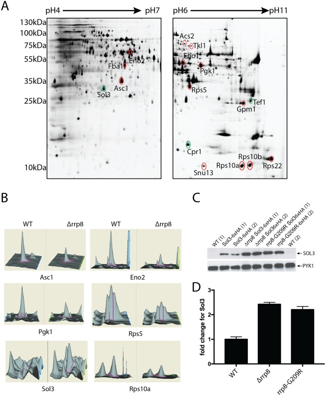 2D proteome analysis of rrp8 mutant. ( A ) Scanned images of a typical 2-D DIGE gel of 50 µg protein from the Cy3 labeled protein pool used for the rrp8 mutant strain (left gel: pH 4–7, right gel: pH 6–11). Differentially expressed proteins are annotated and were identified using ESI-MS/MS. Differentially expressed protein spots are annotated in red (down-regulated) or green (up-regulated). ( B ) DeCyder output showing the representative differentially expressed protein spots of Asc1, Eno2, Pgk1, Rps5, Sol3 and Rps10A along with their 3-D fluorescence intensity profiles. ( C and D ) Sol3 up-regulation is related to loss of m 1 A 645 methylation. Western blot analysis using anti-HA antibodies to analyze the expression of 6xHA tagged SOL3 in wild-type, Δ rrp8 and rrp8 G209R mutant cells. As loading control, PYK1 was detected with a specific antibody. The represented fold changes in SOL3 expression were quantified using ImageJ software ( http://imagej.nih.gov/ij/ ).