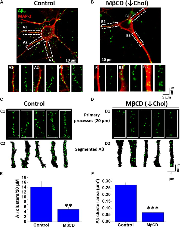 Decreased Aβ association to neurons after lowering cholesterol. (A,B) Confocal microscopy images of hippocampal neurons exhibiting fluorescence for MAP-2 (red) and demonstrating the distribution of Aβ 42 -FAM (green) aggregates on the cell membrane in control and after treatment with MβCD (3 mM) for 30 min. (A1–A3,B1–B3) ROIs of representative neurites showing the overall distribution of Aβ (1 μM, after 1 h treatment) on neuronal processes. (C,D) Representative traces of primary processes shown in (A,B) , respectively. (E,F) Quantification of Aβ clusters (number and area) in the first 20 μm of hippocampal neuron primary processes showing that both parameters decreased after treatment with MβCD (3 mM) for 30 min. The bars represent the mean ± SEM. Asterisks denote: ∗∗ p