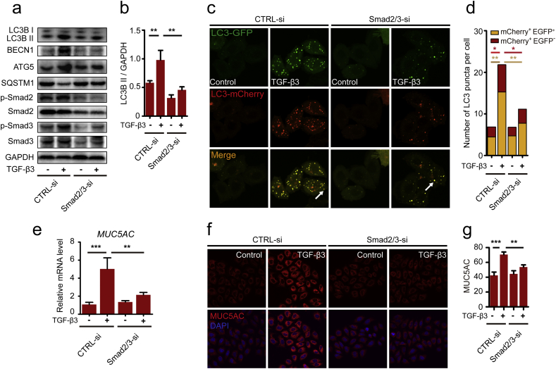 Smad2/3 pathway is involved in TGF-β3 induced autophagy and MUC5AC. (a) 16HBE cells were transfected with Smad2/3-siRNA. After treating the cells with TGF-β3 (10 ng/ml) for 24 h, LC3B, BECN1, ATG5, phospho-Smad2, Smad2, phospho-Smad3 and Smad3 were detected by western blot. (b) Relative changes in the density of LC3B II were detected. (c) 16HBE cells that stably expressed mCherry-EGFP-LC3 fusion protein were transfected with Smad2/3-siRNA. After treating with TGF-β3 (10 ng/ml) for 24 h, autophagosomes were observed under confocal microscope (2000× magnification) in 16HBE cells. Bar scale, 5 mm. (d) Quantification of the number of LC3 puncta (each group n = 10 images for quantification). (e) 16HBE cells were transfected with Smad2/3-siRNA. Real-time PCR was performed to detect the expression of MUC5AC gene after treated with TGF-β3 (10 ng/ml). (f) Representative immunofluorescence images of TGF-β3-induced MUC5AC in 16HBE cells transfected with Smad2/3-siRNA. (g) Quantitation of the fluorescence intensity of MUC5AC (each group n = 10 images for quantification). Data are representative of three independent experiments and are presented as means ± s.d . *P