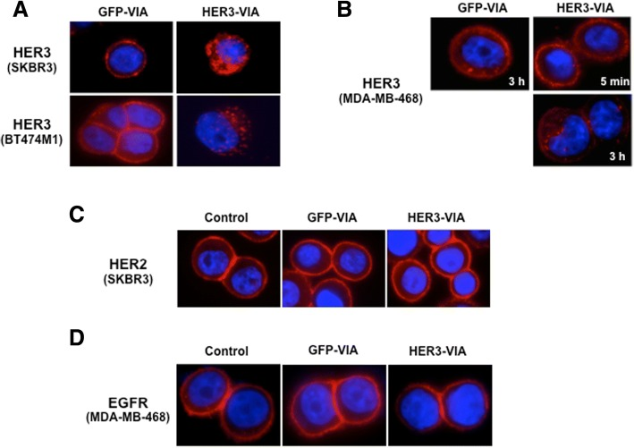Vaccine-induced antibody (VIA) in serum from mice immunized with adenovirus encoding full length human 3 epidermal growth factor receptor (HER3-VIA) induces receptor internalization and downregulation of human epidermal growth factor receptor 3 (HER3), but not epidermal growth factor receptor (EGFR) nor HER2. SKBR3, BT474-M1 ( a ) and MDA-MB-468 ( b ) were incubated with 1:100 HER3-VIA or green fluorescence protein (GFP)-VIA at 37 °C for 1 or 3 h, respectively. After washing and permeabilization, RedTM-conjugated anti-mouse IgG (H + L) was used to visualize internalization of the VIA-bound proteins with a fluorescence microscope. SKBR3 cells ( c ) or MDA-MB-468 cells ( d ) were incubated with 1:100 HER3-VIA or GFP-VIA at 37 °C for 3 h. Cells were fixed, permeabilized and stained with anti-HER2 antibody (trastuzumab, 40 μg/mL) ( c ) or anti-EGFR antibody (cetuximab, 40 μg/mL) ( d ), followed by Cy2-conjugated anti-human IgG antibody