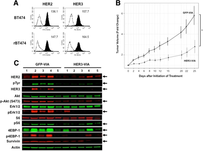 In vivo effects of human epidermal growth factor receptor 3 (HER3) vaccine-induced antibody (HER3-VIA) in lapatinib-refractory rBT474 SCID tumor xenografts. a Flow cytometry analysis of HER2/HER3 expression (filled histograms) by BT474 and rBT474 cells. Mean fluorescence intensities are shown in each histogram. b The lapatinib-refractory cell line rBT474 was implanted into SCID mice and HER3-VIA was administered and tumor size was measured every 2-3 days : * p