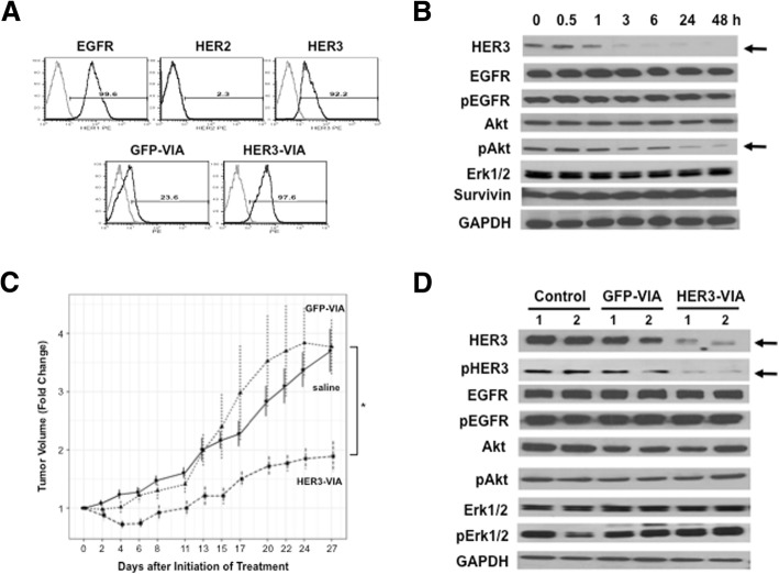 In vivo effects of human epidermal growth factor receptor 3 (HER3) vaccine-induced antibody (HER3-VIA) in triple negative MDA-MB-468 SCID tumor xenografts. a Flow cytometry analysis of HER family expression by MDA-MB-468 cells. Cells were stained with phycoerythrin (PE)-conjugated anti-epidermal growth factor receptor (anti-EGFR), anti-HER2, or anti-HER3 monoclonal antibodies (mAb) (upper three histograms), or were incubated with HER3-VIA or green fluorescence protein (GFP)-VIA (1:100 dilution), followed by PE-conjugated anti-mouse IgG (lower two histograms). b Effect of HER3-VIA on signaling pathway was analyzed by western blotting. MDA-MB-468 cells were incubated with HER3-VIA (1:100 dilution) in vitro at 37 °C for the indicated time period. c Passive transfer of HER3-VIA retarded the growth of established MDA-MB-4684 in SCID mice: * p