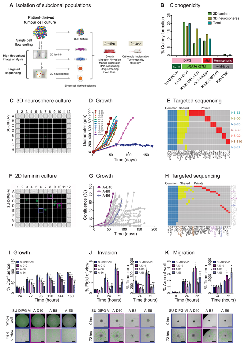 Isolation of genotypically and phenotypically diverse single stem-like cell-derived subclones of paediatric GBM and DIPG. (A) Isolation of subclonal populations. Experimental schema for disaggregation of heterogeneous mixtures of patient-derived tumour cells, flow sorting into single cells in <t>96-well</t> plates, and allowing colonies to form as either 2D cultures adherent on laminin, or 3D neurospheres, all under stem cell conditions. Individual subclonal colonies are subjected to high-throughput phenotypic analysis and targeted resequencing, and further cultured for detailed in vitro and in vivo mechanistic comparison with heterogeneous bulk populations. (B) Clonogenicity. Percentage of single cells which formed colonies under 2D laminin and 3D neurosphere stem cell conditions are given for six pGBM and DIPG primary patient-derived cell cultures, labelled by anatomical location and histone H3 mutation subgroup. (C) 3D neurosphere culture from single cell-derived colonies from SU-DIPG-VI assessed by Celigo S imaging cytometer. (D) Growth of single cell-derived colonies over time, assessed as diammeter of neurosphere, labelled and colour-coded. (E) Targeted sequencing contingency plot of somatic mutations identified as common to all subclones (blue), shared amongst certain subclones (yellow) and private to individuals (red). (F) 2D laminin culture from single cell-derived colonies from SU-DIPG-VI assessed by Celigo S imaging cytometer. (G) Growth of single cell-derived colonies over time, assessed as diammeter of neurosphere, with subclones taken for later analysis highlighted: A-D10 (fast, purple), A-B8 (intermediate, pink) and A-E6 (slow, violet). (H) Targeted sequencing contingency plot of somatic mutations identified as common to all subclones (blue), shared amongst certain subclones (yellow) and private to individuals (red). Gene names are coloured to highlight private mutations in selected subclones, or common to A-D10 and A-B8 (brown). (I) Growth. Time-cour