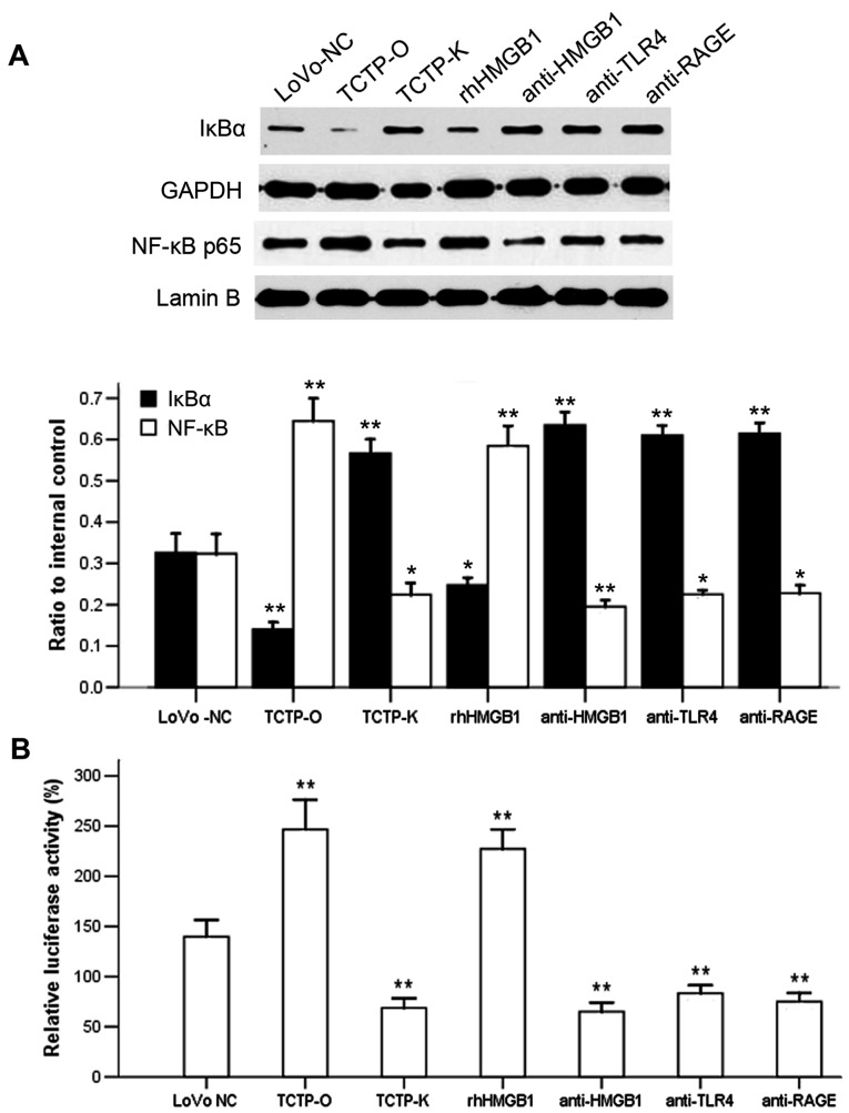 Effect of antibodies against HMGB1 or its receptors TLR4 and RAGE on the TCTP-induced activation of NF-κB in LoVo cells. (A) Immunoblotting analysis of the expression of cytoplasmic IκBα and nuclear NF-κB p65. Lanes: 1, LoVo-NC; 2, TCTP-O; 3, TCTP-K; 4, TCTP-O +10 μ g/ml rhHMGB1; 5, TCTP-O + 5 μ g/ml anti-HMGB1; 6, TCTP-O + 5 μ g/ml anti-TLR4; 7, TCTP-O + 5 μ g/ml anti-RAGE. GAPDH and Lamin B were used as internal controls of cytoplasmic and nuclear protein, respectively. * P