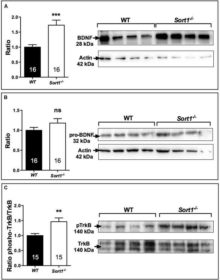 Effect of deletion of Sort1 −/− gene on BDNF system. Western blot analyses and their corresponding histogram quantification of the expression of proteins involved in the BDNF system in brain extracts from WT and Sort1 −/− mice. (A) BDNF, (B) proBDNF, and (C) phospho-TrkB. ∗∗ p