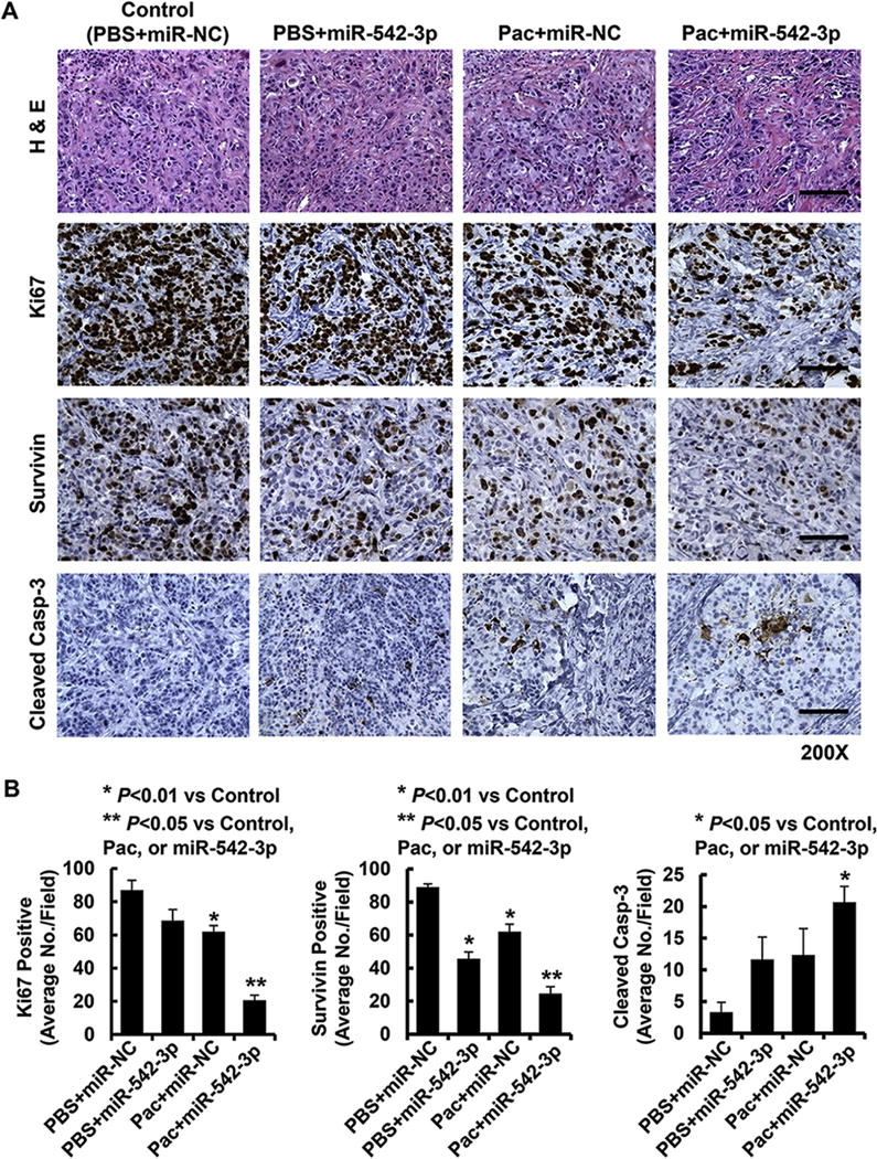 The combination of miR-542-3p and paclitaxel significantly downregulates Survivin, inhibits proliferation, and induces apoptosis of HCC1954 breast cancer cells in vivo The tumors obtained from the animal experiments were evaluated by IHC analysis of Ki67, Survivin and cleaved <t>caspase-3.</t> A , Data show the representative images of representative tumors with hematoxylin and eosin (H E) staining and immunostaining of Ki67, Survivin and cleaved caspase-3 (Cleaved Casp-3). B , The IHC slides were observed by two independent personnel. The tumor cells with positive staining of Ki67, Survivin, or cleaved caspase-3 were counted from three randomly selected areas in each slide. The three areas were first identified by scanning the entire slide at ×10 magnification, and then the positively stained cells were counted at ×20 magnification using an Olympus B×40 microscope (Tokyo, Japan). A minimum of 500 tumor cells were evaluated. If differences occurred between spot intensities, the most positive spot was considered. The evaluations were recorded as percentages of positively stained target cells in each field. The bar graphs show the mean percentages of positively stained cells in each field. Bars , SD.