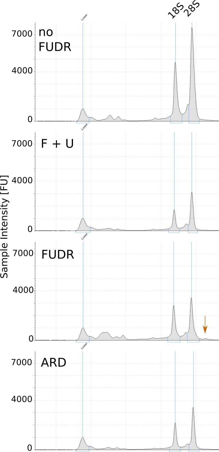 Representative TapeStation electropherograms of total RNA extracted from ARD and post-ARD animals. Arrow marks high molecular weight species, presumably unprocessed rRNA precursor, accumulating in the presence of FUDR. Samples were prepared as in Figure 5A .