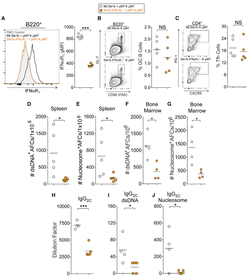 B-Cell-Intrinsic IFNαR 1 Is Required for ANA-Producing AFC Responses in B6. Sle1b Mice (A) Flow cytometric analysis of surface expression of IFNαR 1 on B220 + B cells in B6. Sle1b and B6. Sle1b .IFNαR 1 −/− chimeric mice 3 months after BM cell transfer. (B and C) The percentages of B220 + GL-7 hi Fas hi GC B cells (B) and CD4 + CXCR5 hi PD-1 hi Tfh cells (C) in total splenocytes of the chimeras. (D and E) Numbers of dsDNA-specific (D) and <t>nucleosome-specific</t> (E) splenic AFCs in chimeric mice described in (A)–(C). (F and G) Numbers of dsDNA-specific (F) and nucleosome-specific (G) long-lived bone marrow AFCs in chimeric mice described in (A)–(C). (H) Analysis of serum titers of total IgG2c antibodies in these mice. (I and J) Analysis of dsDNA-reactive (I) and nucleosome-reactive IgG2c (J) in the sera of these mice. These data represent one experiment of four or five mice of each genotype. Statistical significance was determined using an unpaired, nonparametric Mann-Whitney Student's t test (NS, not significant, *p