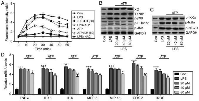 ROS production is involved in LR-reduced oxidative stress and inflammation in LPS-treated cells. (A) The lung epithelia cells of BEAS-2B were pretreated with LR (80 µ M) for 24 h, followed by LPS exposure for another 1 h, and then for addition of 10 mM N-acetylcysteine (NAC) or 5 mM ATP for 0–60 min as indicated. Then, reactive oxygen species production was measured as the relative fluorescence intensity. The lung epithelia cells of BEAS-2B were pretreated with different concentrations of LR (0, 20, 40 and 80 µ M) for 24 h, followed by LPS exposure for another 1 h, and then for addition of 5 mM ATP for 60 min. Finally, all cells were harvested for further experiments. (B) XO, TXNIP, p-p38, p-ERK1/2 and p-JNK protein levels were measured using western blot analysis. (C) Western blot analysis of p-IKK-α, p-IκBα and p-NF-κB were exhibited. (D) TNF-α, IL-1β, IL-6, MCP-5, MIP-1α, IL-10, iNOS and COX2 gene levels were evaluated using reverse transcription-quantitative polymerase chain reaction assays. Data are represented as mean ± standard error of the mean of three independent experiments (n=6). +++ P