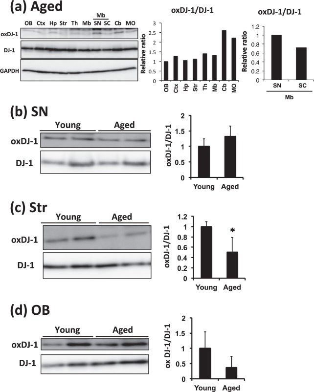The effects of aging on oxDJ-1 levels in the brain. (a) Western blot analyses of oxDJ-1 in separated brain tissues of aged mice. Protein lysates of each brain site were subjected to western blot analyses. The relative band densities of oxDJ-1 normalized to DJ-1 were calculated and are presented as mean (n = 2). Abbreviations are same with Fig. 1 . ( b – d ) Protein lysates of the substantia nigra (SN, b ), striatum (Str, c ), and olfactory bulb (OB, d ) of young (9 weeks) and aged (130 weeks) WT mice were separated by SDS-PAGE and then subjected to western blotting using each Ab. The densities of each band were determined and the relative densities of oxDJ-1 relative to DJ-1 were calculated and are presented as mean ± SD (n = 3). * P