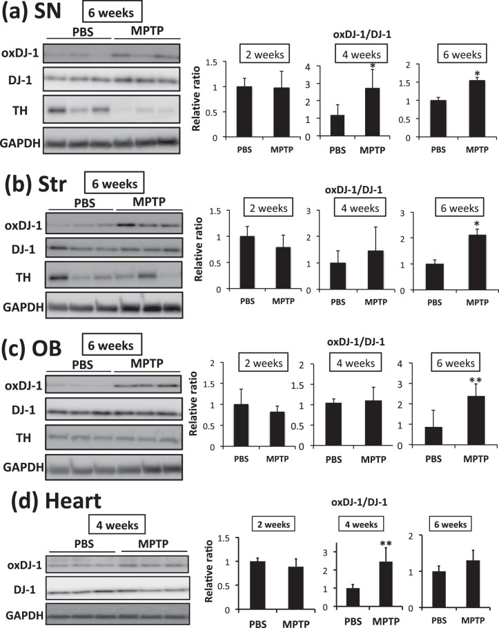 Elevation of oxidized DJ-1 in the brain and heart of MPTP-treated mice. After the administration of PBS and MPTP (15 mg/kg, 3 times i.p.), each brain and heart were separated and subjected to analysis. (a–d) Protein lysates of the substantia nigra (SN, a ), striatum (Str, b ), olfactory bulb (OB, c ), and heart ( d ) of MPTP-treated mice were subjected to western blot analyses using each specific Ab. The relative band densities of oxDJ-1 relative to DJ-1 were calculated and are presented as mean ± SD (n = 6). ** P