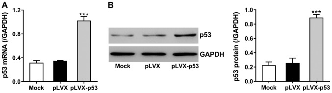 Overexpression of p53 by constructing lentivirus. The protein CDS region of murine p53 gene was inserted into the lentiviral expression vector pLVX-puro. Lentivirus encoding p53 (pLVX-p53) and control virus (pLVX) were packaged in <t>293T</t> cells and used to infect MC3T3-E1 cells. We evaluated (A) mRNA levels of p53 with qPCR and (B) protein levels of p53 with western blotting, at 48 h after viral infection. ***P