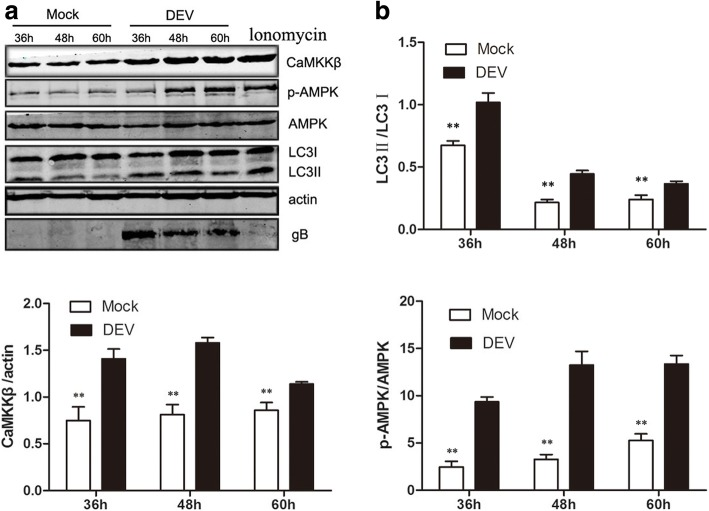 DEV infection activated CaMKKβ and its substrate AMPK, as well as increased the extent of LC3I transformation to LC3II. a DEF cells infected with DEV (MOI = 1) or mock-infected cells were lysed and blotted with antibody against CaMKKβ, p-AMPK, AMPK, LC3, and β-actin at the indicated times. Ionomycin treated cells as a postive control ( b ) The ratios of CaMKKβ/β-actin. p-AMPK/AMPK, and LC3II/LC3I in DEF cells from three independent experiments, expressed as means ± SD. * p