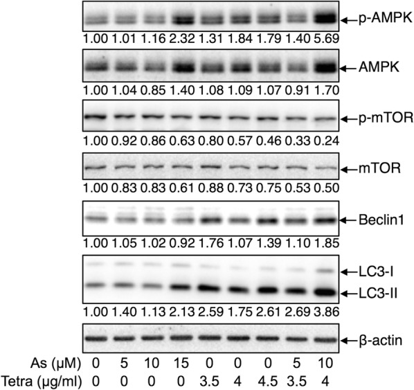 """Expression profile of autophagy-related proteins in MDA-MB-231 cells treated with As III and Tetra, alone or in combination. After treatment with various concentrations of As III and Tetra, alone or in combination, for 48 h, the expression profile of autophagy-related proteins was analyzed using western blot as described in """" Materials and methods """". Representative image of the expression profile of each protein is shown from three independent experiments. The densitometry of protein bands was analyzed using a program, NIH ImageJ 1.52a. The values under each image represent the ratios between each key molecule and β-actin protein expression levels, which were further compared with those of control group (untreated cells). As, As III ; Tetra, tetrandrine. Since enough cells cannot be collected in the group treated with 15 µM As III in combination with 4.5 µg/ml Tetra due to its strong cytotoxicity, western blot analysis were not conducted"""