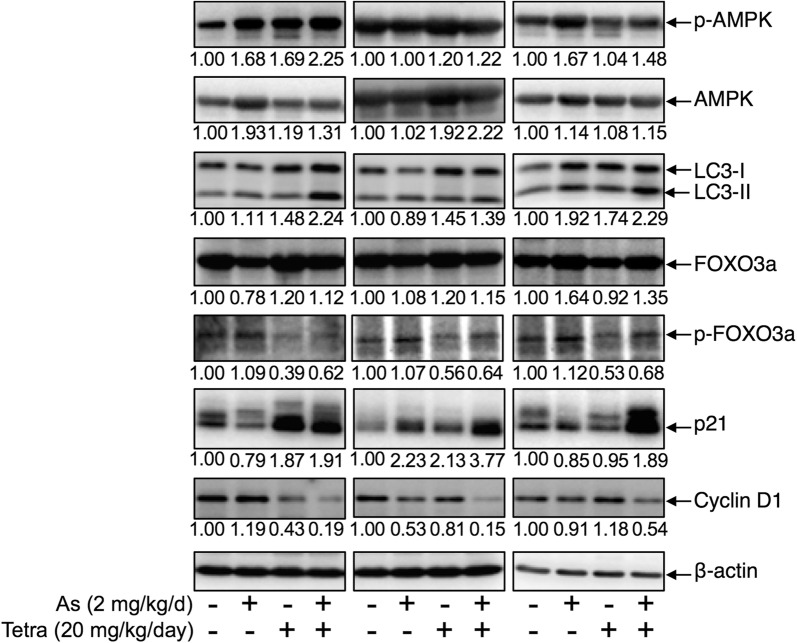 """Expression profile of autophagy and cell cycle arrest-related proteins in MDA-MB-231 mouse xenografts treated with As III and Tetra, alone or in combination. The experiment was carried out using human breast cancer nude mice implanted subcutaneously with 1 × 10 7 MDA-MB-231 cells. The administration of As III and Tetra, alone or in combination, and the preparation of tumor tissues and their protein samples were carried out as described under """" Materials and methods """". Results are representatives of three independent experiments. The densitometry of protein bands was analyzed using a program, NIH ImageJ 1.52a. The values under each image represent the ratios between each key molecule and β-actin protein expression levels, which were further compared with those of vehicle-control group"""