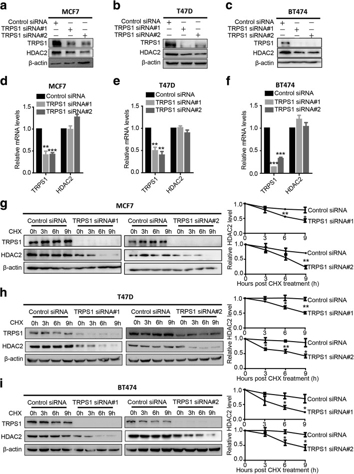 Tricho-rhino-phalangeal syndrome 1 (TRPS1) transcription factor negatively regulates histone deacetylase 2 (HDAC2) protein level by stabilizing the HDAC2 protein. MCF7 ( a ), T47D ( b ), and BT474 ( c ) exhibit decreased HDAC2 protein levels upon silencing TRPS1 . MCF7 ( d ), T47D ( e ), and BT474 ( f ) exhibit insignificant alterations in HDAC2 messenger RNA levels upon silencing TRPS1 . MCF7 ( g ), T47D ( h ), and BT474 ( i ) show decreased HDAC2 protein stability upon silencing TRPS1 . The t test was used for statistical quantification: * p