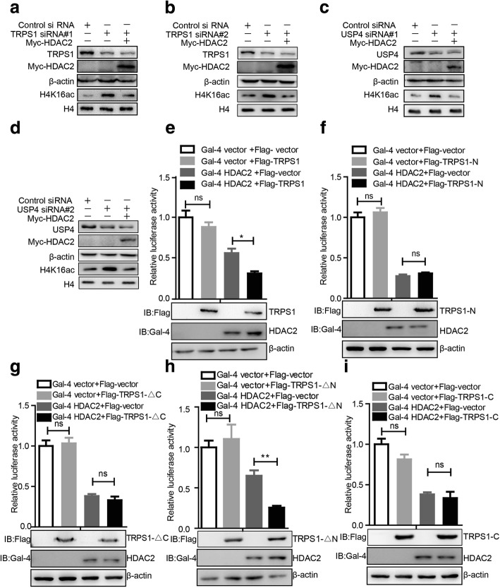 Tricho-rhino-phalangeal syndrome 1 (TRPS1) transcription factor regulates the transcription repressive activity of histone deacetylase 2 (HDAC2). a , b MCF7 shows increased H4K16ac level upon silencing of TRPS1, and overexpression of HDAC2 restored H4K16ac level. c, d MCF7 shows increased H4K16ac level upon silencing USP4, and overexpression of HDAC2 restored H4K16ac level. e – i Effects of TRPS1 and its truncation mutants over the transcriptional repression activity of HDAC2. The t test was used for statistical analysis: * p