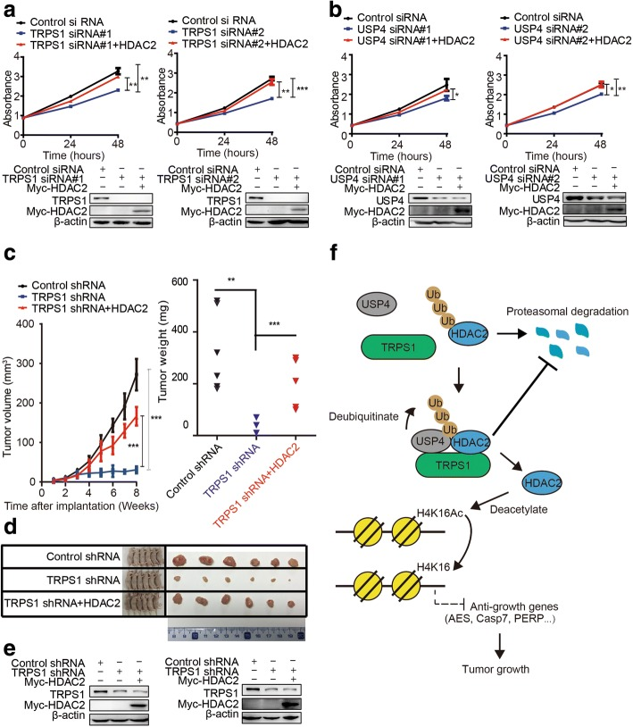 The tricho-rhino-phalangeal syndrome 1 (TRPSI)-ubiquitin-specific protease 4 (USP4)-histone deacetylase 2 (HDAC2) regulatory axis confers growth in cancer cells in vitro and in xenografted tumors in vivo. a MCF7 shows decreased cell viability upon silencing of TRPS1 and additional overexpression of HDAC2 restored cell viability. b MCF7 shows decreased cell viability upon silencing of USP4 and additional overexpression of HDAC2 restored cell viability. c Xenografted tumor growth curves (left), xenografted tumor weight (right). d Representative xenografted tumors from mouse models. e Representative western blot data of selected xenografted tumors show TRPS1 and myc-HDAC2 protein levels. f A working model of the current study. The t test was used for statistic quantifications: * p