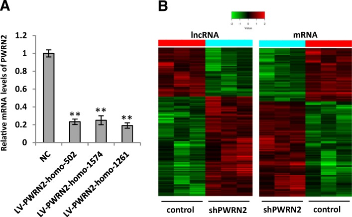 Expression profiles of lncRNAs and mRNAs in KGN/shPWRN2 cell lines. a Relative expression of PWRN2 mRNA was examined in KGN cells infected with different lentiviral shRNAs (LV- PWRN2 -homo-502, LV- PWRN2 -homo-1574, LV- PWRN2 -homo-1261, or LV negative control) using qRT-PCR analysis with GAPDH as an endogenous reference. The KGN cells treated with different lentiviral shRNAs are shown on the x-axis, and the relative change of PWRN2 / GAPDH is shown on the y-axis. Each set of qRT-PCR reactions was repeated at least three times. The results are presented as mean ± SEM. ** indicates P