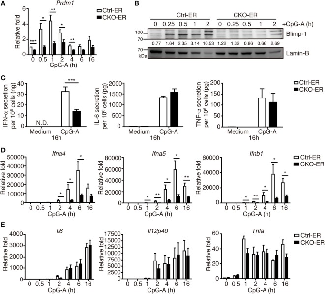 Inducible deletion of Prdm1 confirmed the important role of Blimp-1 in type I IFN (IFN-I) production in plasmacytoid dendritic cells (pDCs). (A,B) RT-quantitative PCR (RT-qPCR) (A) and immunoblotting (B) showing Blimp-1 mRNA and protein levels in FLpDCs from Ctrl-ER and CKO-ER mice treated with 500 nM 4-OHT and then stimulated with 1 µM CpG-A at indicated time points. The quantitation of Blimp-1 in (B) was presented by the ratios of Blimp-1 band intensity vs. Lamin-B band intensity at each time point. (C) 4-OHT treated FLpDCs cultured from Ctrl-ER and CKO-ER mice were stimulated with 1 µM CpG-A or medium alone for 16 h, followed by ELISA to measure the levels of IFN-α, IL-6, and TNF-α production. (D,E) RT-qPCR showing mRNA levels of IFN-I (D) and proinflammatory cytokines (E) in 4-OHT treated FLpDCs from Ctrl-ER and CKO-ER mice after stimulation with 1 µM CpG-A at indicated time points. Data represent the mean ± SEM and were analyzed by two-tailed unpaired Student's t -test [ n = 6 in (A) , 3 in medium, 9−14 in CpG-A treatment in (C) , 7 in (D) , and 3−4 in (E) ]. * p