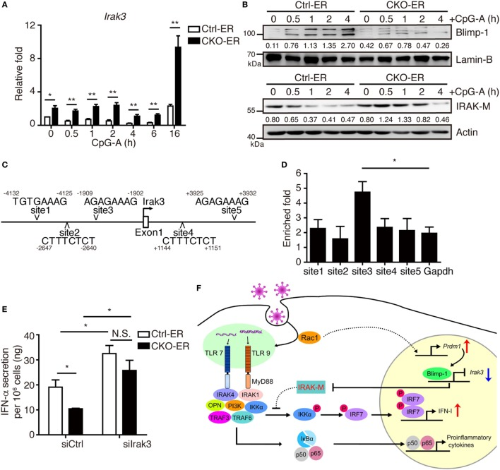 Increased IRAK-M expression in pDCs lacking Blimp-1 contributes to impaired IFN-I production. (A,B) RT-qPCR showing Irak3 mRNA levels (A) , IRAK-M and Blimp-1 protein levels (B) in Ctrl-ER and CKO-ER FLpDCs treated with 4-OHT and then stimulated with 1 µM CpG-A. The quantitation of Blimp-1 in (B) was presented by the ratios of Blimp-1 band intensity vs. Lamin-B band intensity at each time point. The quantitation of IRAK-M in (B) was presented by the ratios of IRAK-M band intensity vs. actin band intensity at each time point. (C) Five putative Blimp-1 consensus binding sites were identified within 5 kb upstream and downstream of the Irak3 transcriptional start site (TSS, indicated by an arrow). (D) ChIP assay using chromatin isolated from FLpDCs following 4 h stimulation with 1 µM CpG-A showing the levels of binding of Blimp-1 at various putative sites. Gapdh was used as the negative control locus. (E) IFN-α production by Blimp-1-deficient and control FLpDCs transfected with control siRNA (siCtrl) or siRNA-pools with three different siRNAs against Irak3 (siIrak3) and stimulated with 1 µM CpG-A for 16 h. (F) Model of the action of Blimp-1 in the regulation of induction of IFN-I signaling in pDCs. Abbreviations: Rac, Ras-related C3 botulinum toxin substrate; IRAK-M, interleukin-1 receptor-associated kinase M; OPN, osteopontin; pDCs, plasmacytoid dendritic cells; IFN-I, type I IFN; siRNA, small-interfering RNA; Irak3, interleukin-1 receptor-associated kinase 3 ; ChIP, chromatin immunoprecipitation; RT-qPCR, RT-quantitative PCR. Data represent the mean ± SEM and were analyzed by two-tailed unpaired Student's t -test [ n = 4 in (A) and 3 in (D,E) ]. * p