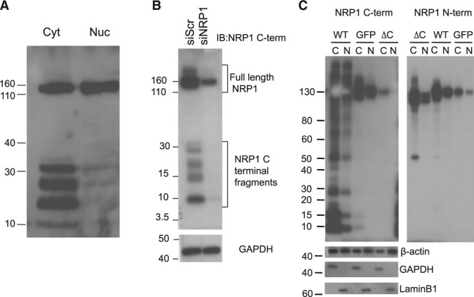 Endothelial expression of C-terminal NRP1 (neuropilin-1) fragments.  A , Lysates of cytoplasmic (Cyt, C) and nuclear extracts (Nuc, N) of human umbilical vein endothelial cells (HUVECs) were immunoblotted with NRP1 antibody specific to the cytoplasmic domain of NRP1 (C-term; antibody C-19 from Santa Cruz Inc). This antibody recognized several low (30 kDa and below) molecular weight species predominantly in the cytoplasmic fraction.  B , HUVECs were transfected with control scrambled (siScr) and NRP1-specific siRNAs, and whole cell protein lysates immunoblotted with NRP1 antibody specific either to the cytoplasmic (C-term) or extracellular (N-term; antibody AF387) domains of NRP1. Knockdown of endogenous NRP1 using siRNA resulted in diminished expression of not only the full-length NRP1 band but also of the cytoplasmic fragments.  C , HUVECs were transduced with adenoviruses encoding wild-type (WT) NRP1 (WT), an NRP1ΔC mutant lacking the cytoplasmic domain (ΔC), or GFP (green fluorescent protein), and 48 h later cytoplasmic (C) or nuclear (N) cell lysates were immunoblotted with antibodies either specific for the NRP1 cytoplasmic domain (C-term), or specific to the NRP1 extracellular domain (N-term), or for β-actin, glyceraldehyde 3-phosphate dehydrogenase (GAPDH; cytoplasmic marker), or lamin B (nuclear marker). Overexpression of WT NRP1 by an adenovirus (WT), but not of the NRP1ΔC mutant (lacking the cytoplasmic domain; ΔC) results in the generation of low molecular weight cytoplasmic fragments that can be detected only by antibody specific for the NRP1 cytoplasmic domain, but not by antibody specific for the NRP1 extracellular domain.