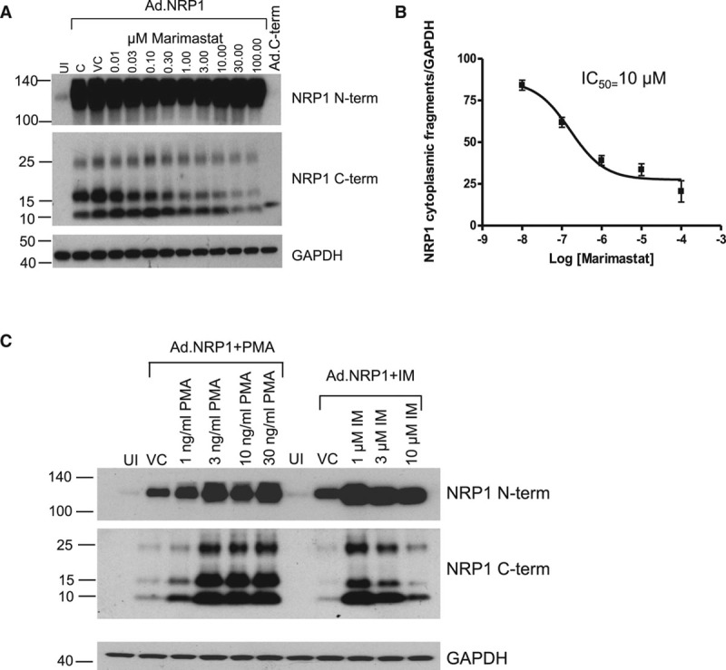 The generation of NRP1 (neuropilin-1) cytoplasmic fragments in human umbilical vein endothelial cells (HUVECs) is mediated by metalloproteinase activity. A , Increasing concentrations of marimastat, a broad-spectrum metalloproteinase inhibitor, reduces the expression of the 10 and 15 kDa fragments detected by antibody specific for the NRP1 cytoplasmic domain (C-term) in a dose-dependent manner. B , The dose-response curve for the effect of marimastat on generation of the 10 kDa NRP1 cytoplasmic fragment indicates an IC 50 of 10 μmol\L, similar to reported values for marimastat. C , HUVECs, either infected with Ad.NRP1WT or uninfected (UI) were treated for 24 h with Phorbol ester (PMA), or Ionomycin (IM), or vehicle (DMSO) control (VC), at the indicated concentrations, and cell lysates were then prepared and immunoblotted as shown.