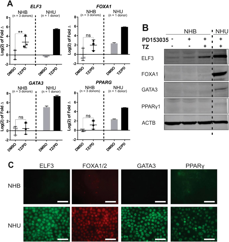 Evaluation of ELF3 , FOXA1 , GATA3 and PPARG expression in NHB cells. RNA and protein were extracted from parallel cultures of NHB and NHU cells at 72 h following exposure to the PPARγ-activating TZ/PD protocol, or a vehicle control (0.1% DMSO). (A) RTqPCR results combined from three independent NHB cell lines (represented by different symbols), with a single NHU cell line for comparison. All data is normalised to GAPDH expression and is presented relative to the DMSO-treated NHB cell control for each gene. Statistical analysis was performed using a two-tailed, paired t -test to test if TZ/PD treatment resulted in any significant change in gene expression in NHB cells. ** represents P ≤ 0.01. Error bars represent standard deviation. (B) Immunoblot of whole cell protein lysates from representative NHB and NHU cell cultures following exposure to the TZ/PD protocol, 1 µM PD153035 alone, or vehicle (0.1% DMSO) for 72 h. ACTB was included as an internal loading control. Experiments performed on n = 3 independent NHB cell lines with similar results. (C) Immunofluorescence microscopy of ELF3, FOXA1/2, GATA3 and PPARγ in representative NHB and NHU cell cultures. Images taken at identical exposures to demonstrate differences in labelling intensity between the two cell types. Experiments performed on n = 3 independent NHB donor cell lines with similar results. Scale bar ≡ 50 µm.