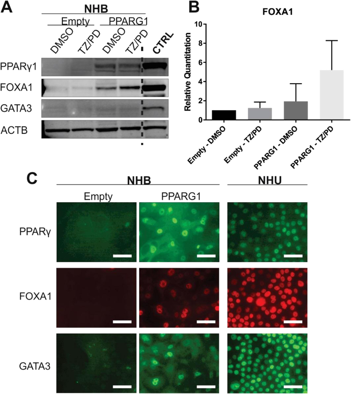 Evaluation of PPARγ, FOXA1 and GATA3 expression in PPARG1 overexpressing and control (empty) NHB cells. PPARG1 overexpressing and control (empty vector) NHB cell cultures were exposed to the TZ/PD protocol for 72 h. Experiments performed on between 2 and 4 independent NHB cell lines (as stated below), with representative results shown. (A) PPARγ1, FOXA1 and GATA3 protein expression assessed by western blotting. ACTB expression was included as an internal loading control. Protein lysates from cell lines known to express the proteins of interest were included as positive controls for each antibody (CTRL). Experiments performed on n = 3 independent NHB cell lines. (B) Densitometry analysis of FOXA1 protein expression shown relative to control (Empty - DMSO) NHB cells. Data is shown as the mean of n = 4 independent transduced NHB cell lines. All values were normalised to the ACTB expression. Statistical analysis was performed using a one-way ANOVA test, but no statistical significance was found (P > 0.05). Error bars represent standard deviation. (C) Immunofluorescence microscopy evaluating PPARγ, FOXA1 and GATA3 protein localisation in PPARG1 overexpressing and control (empty vector) NHB cells following the TZ/PD protocol at 72 h. Experiments were performed on n = 3 independent transduced NHB cell lines. IF images for a single NHB cell line are shown. Nuclear localisation was observed with PPARγ (n = 3/3), FOXA1 (n = 3/3), and GATA3 (n = 2/3). NHU cells (non-transduced) treated with the TZ/PD protocol are shown for comparison at the same time point. Scale bar ≡ 50 µm.