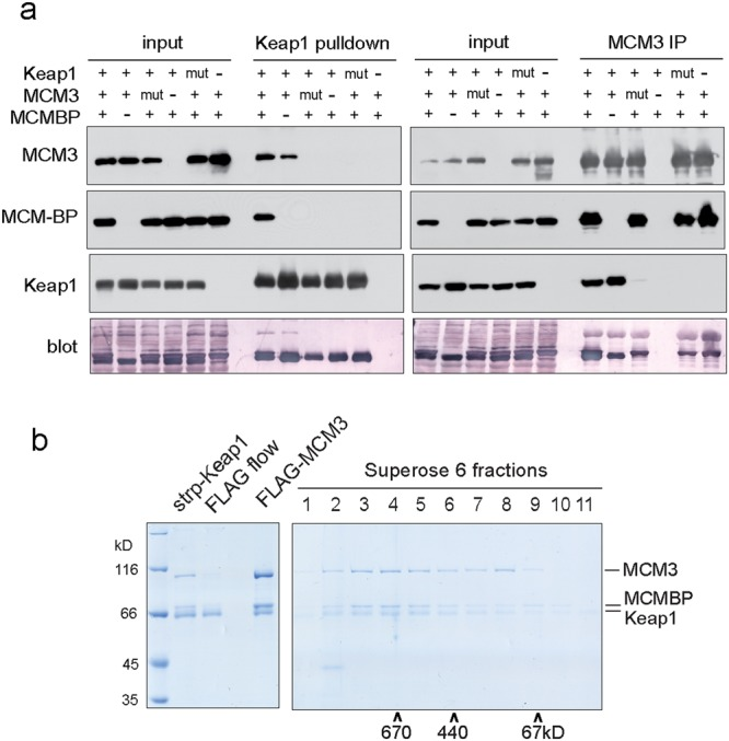 Keap1, MCM3, and MCM-BP form a ternary complex. ( a ) Strep-Keap1 and FLAG-MCM3 pulldown experiments from Sf9 cells co-infected with baculoviruses expressing mouse MCM-BP together with WT or interaction deficient mutant MCM3 and Keap1 as indicated. Top panels show the Western blots of indicated proteins, bottom panel the blotted membranes that were stained with colloidal gold total protein stain. 1/300th of the starting extracts ('input') and 1/6th of the pulldown samples was loaded on each lane. See Supplementary Fig. S6 for full-length blots. ( b ) Strep-Keap1 - FLAG-MCM3 tandem affinity purification experiment from Sf9 cells co-infected with baculoviruses expressing all six mouse MCM2-7 subunits, Keap1, and MCM-BP. Coomassie brilliant blue stained SDS-PAGE gel on the left shows eluted material from both affinity purification steps, and unbound material from the FLAG affinity step in the middle lane. Resulting complexes were further resolved by Superose 6 size exclusion chromatography, the fractions of which are shown on right gel; co-elution of molecular weight markers is indicated at the bottom. The identity of protein bands was verified by mass spectrometry.