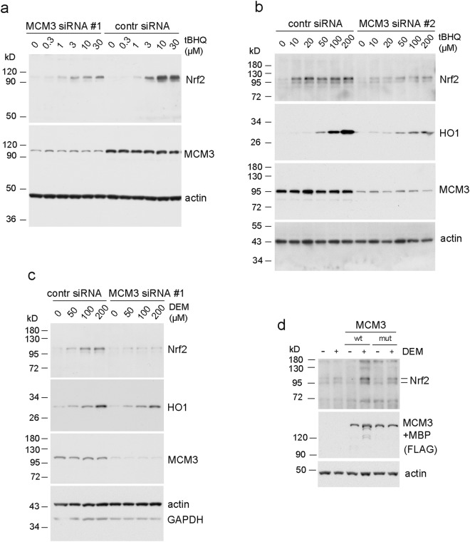 siRNA knock-down of MCM3 levels results in lower sensitivity of Keap1 - Nrf2 response. ( a ) Western blotting analysis of human U2OS cells transfected with MCM3 siRNA #1, or negative control siRNA, and treated with indicated concentrations of tBHQ to induce the Keap1 controlled stabilization of Nrf2 protein. MCM3 blot shows the efficiency of a knock-down and actin blot serves as a loading control in all the panels of this figure. ( b ) Similar experiment, where different siRNA was used (#2) to knock down the MCM3 expression, and cells were treated with higher tBHQ concentrations. Nrf2 transactivation target heme oxygenase 1 (HO1) was additionally blotted. ( c ) The knock-down experiment with MCM3 siRNA #1, where different chemical activator (DEM) was used to induce the Keap1 controlled Nrf2 response. ( d ) Transfection experiments with U2OS cells showing the induction of Nrf2 levels in response to 50 µM DEM treatment (6 hrs) in cells over-expressing either WT or ETGE > GAGA mutant MCM3. Ectopically expressed MCM3 carried N-terminal FLAG and MBP tags and was blotted using antibodies against the FLAG tag of the protein.