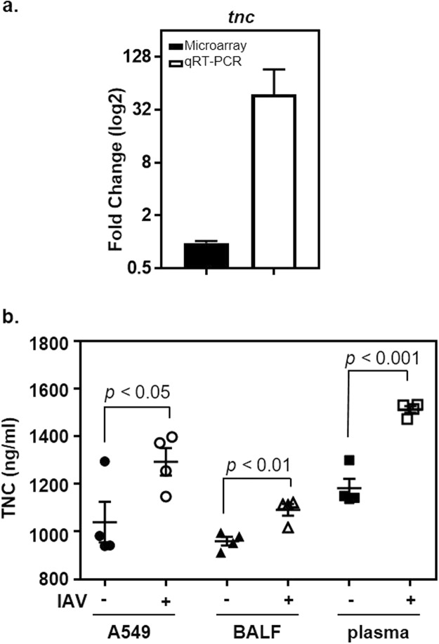 Increased expression of TNC following IAV infection of <t>A549</t> cells. ( a ) The abundance of tnc transcripts was measured with qRT-PCR (open bars) 24 hours after IAV infection (IAV+) of A549 cells and compared to uninfected A549 cells (IAV−). The closed bar shows the results obtained with DNA microarrays. The y-axis shows the fold-increase in transcripts associated with IAV-infected cells compared to uninfected controls. ( b ) The abundance of TNC was measured in A549 cells 24 hours after IAV infection (IAV+) and compared to uninfected A549 cells (IAV−). Additionally, TNC was similarly measured in BALF and plasma collected from mice 8 days after being inoculated with IAV (IAV+; n = 4 mice) or allantoic fluid (IAV−; n = 4 mice). The mean and sem are indicated. A student's t-test was used to measure statistical significance.