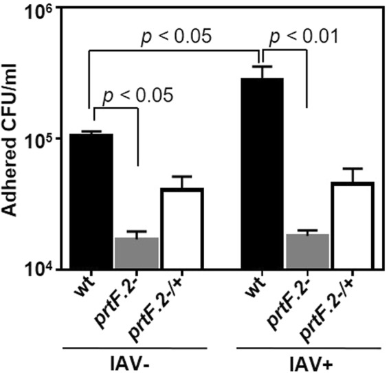 Inactivation of prtF.2 decreased the adherence of GAS to IAV-infected A549 cells. The number of wild-type (wt), prtF.2 mutant ( prtF.2 − ), or the complemented prtF.2 mutant ( prtF.2 −/+ ) bacteria adhered to A549 cells following 24 hours of IAV infection (IAV+) or not (IAV−) was determined by dilution plating. The means and sem are reported. Two-way ANOVA with Tukey's post-test was used to measure the significance of the differences among the strains.