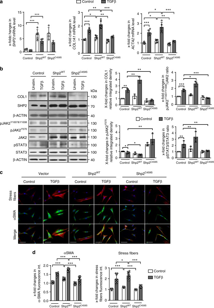 SHP2 enhances TGFβ-induced fibroblast activation via JAK2/STAT3. a mRNA levels of SHP2 after overexpression in human dermal fibroblasts. mRNA levels of COL1A1 in human fibroblasts transfected with empty vector, SHP2 WT - and SHP2 C459S -expression vectors, with or without TGFβ1 treatment (10 ng/ml for 24 h) ( n ≥ 4). b Western blot analysis and respective quantifications for type I collagen and SHP2 in human fibroblasts transfected with empty vector, SHP2 WT - and SHP2 C459S -expression vectors, with or without TGFβ1 treatment (10 ng/ml for 24 h). Western blot for pJAK2 Y1007/Y1008 , pJAK2 Y570 , total JAK2, pSTAT3 Y705 and total STAT3 with β-actin as loading control (TGFβ 10 ng/ml for 6 h) ( n = 3). Results shown are representative of three independent experiments. c , d Representative images of immunofluorescence stainings for α-SMA and stress fiber staining are shown at 400-fold magnification ( c ) and quantification of α-SMA staining intensity as well as stress fiber staining intensity ( d ) ( n ≥ 4). Horizontal scale bar, 500 μm. All data are presented as median ± s.e.m. The p values are expressed as follows: 0.05 > p > 0.01*; 0.01 > p > 0.001**; p