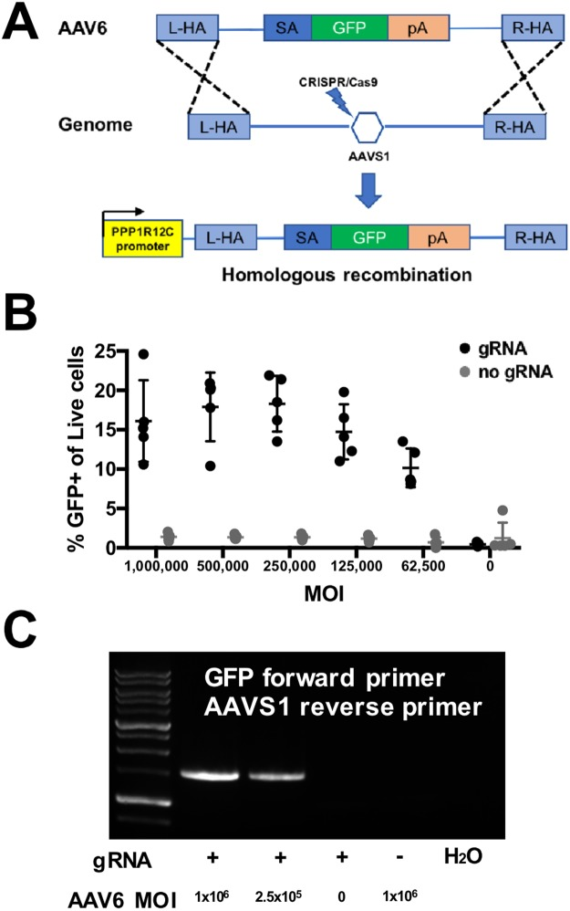 B cells can be engineered using homologous recombination with rAAV6 donor and CRISPR/Cas9. ( A ) A schematic design of the DNA donor template for a splice acceptor- EGFP system targeting the AAVS1 site by HR used in this study. ( B ) Percentage of EGFP+ cells represent integration frequency following transfection with rAAV6 containing a splice acceptor- EGFP system at the indicated MOIs (n = 3). ( C ) PCR amplification using a combination of EGFP and AAVS1 primers of samples engineered with RNPs targeting AAVS1 and exposed to rAAV6 containing a splice acceptor-EGFP system at the indicated MOIs, as well as no gRNA (represented by '–') and H 2 O controls.